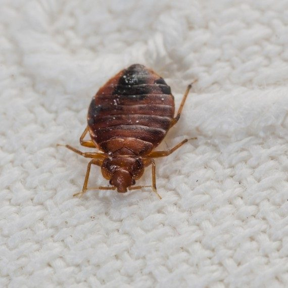 Bed Bugs, Pest Control in Feltham, Hanworth, TW13. Call Now! 020 8166 9746