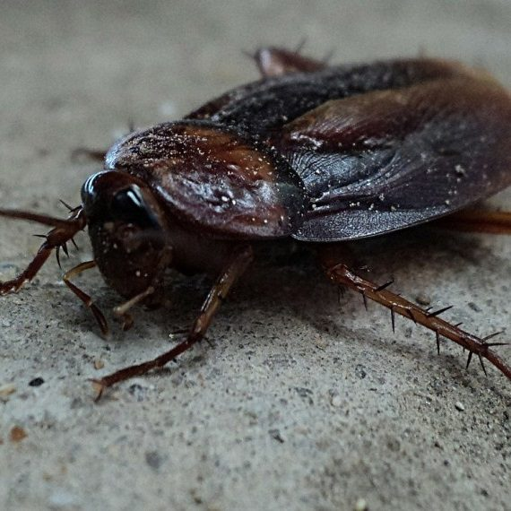Cockroaches, Pest Control in Feltham, Hanworth, TW13. Call Now! 020 8166 9746