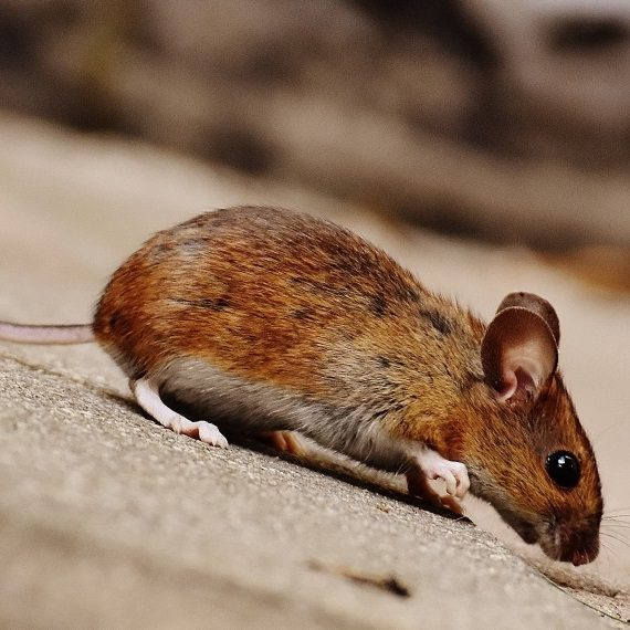Mice, Pest Control in Feltham, Hanworth, TW13. Call Now! 020 8166 9746