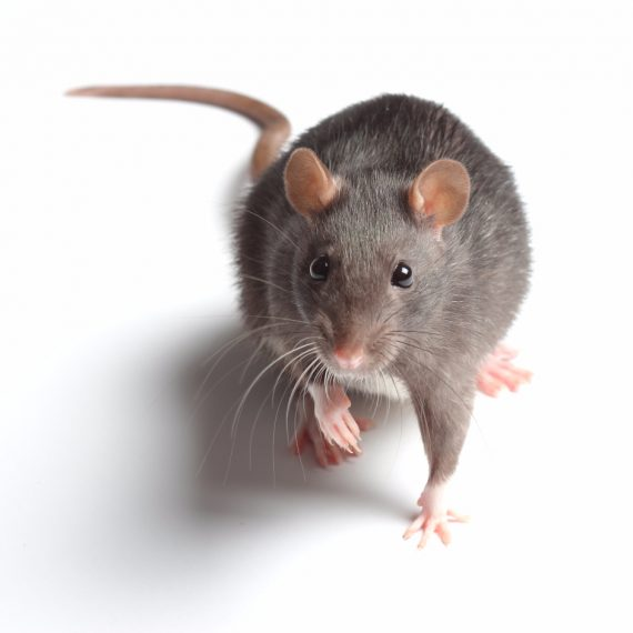 Rats, Pest Control in Feltham, Hanworth, TW13. Call Now! 020 8166 9746