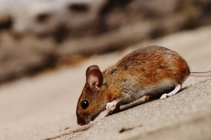 Mouse extermination, Pest Control in Feltham, Hanworth, TW13. Call Now 020 8166 9746