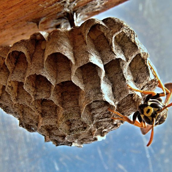 Wasps Nest, Pest Control in Feltham, Hanworth, TW13. Call Now! 020 8166 9746