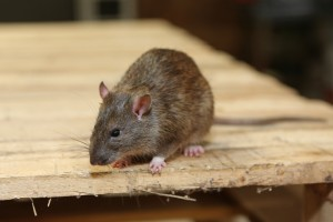 Rodent Control, Pest Control in Feltham, Hanworth, TW13. Call Now 020 8166 9746